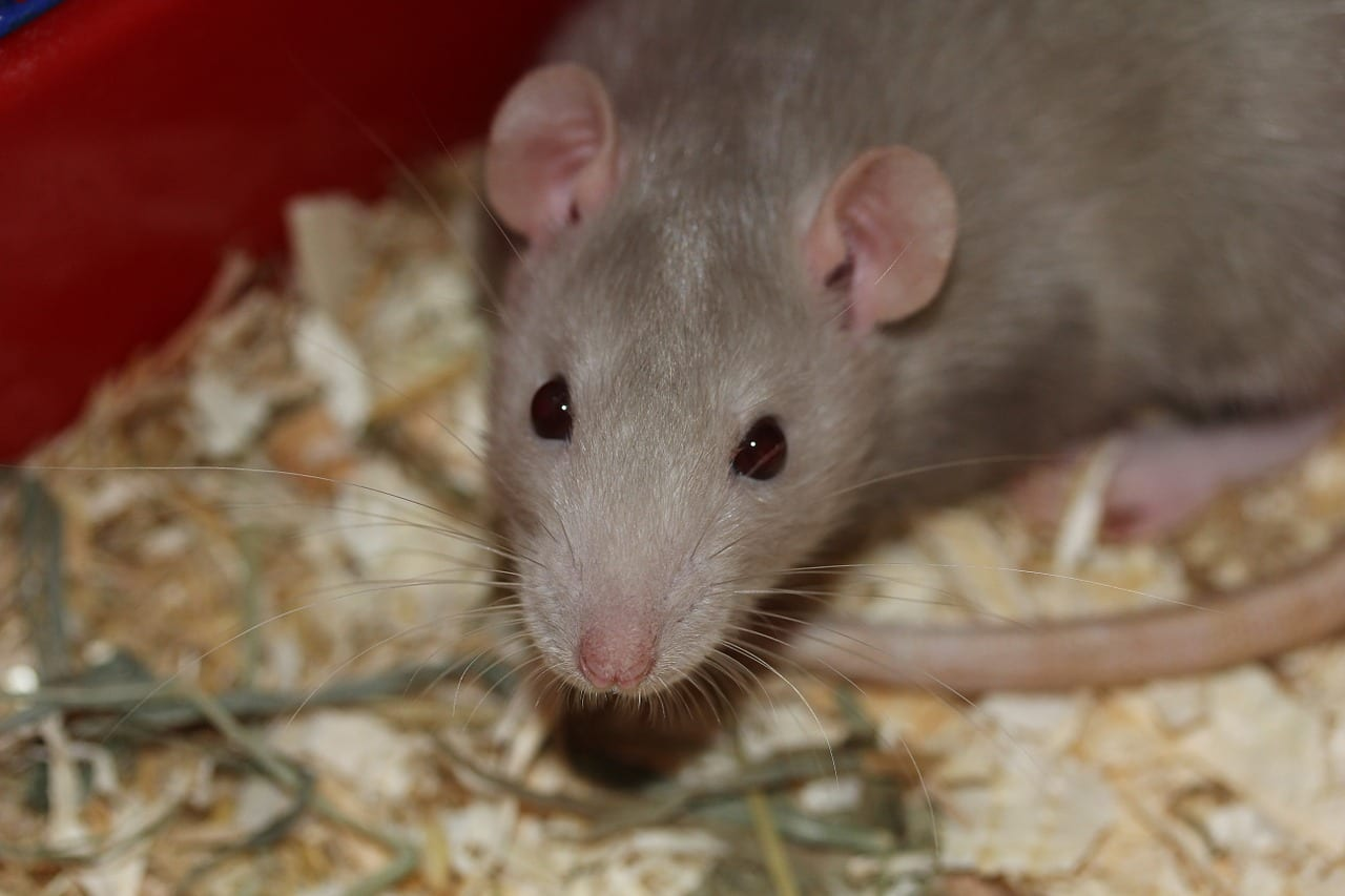 Treasure-Coast Rat Control