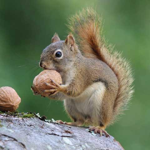 Orlando Squirrel Removal